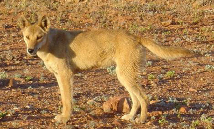 Modern science is helping to understand the dingo's place in Australia – Arid Recovery